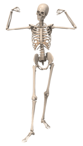 กระดูก-skeleton